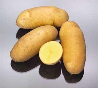mayan gold potatoes wholesalers